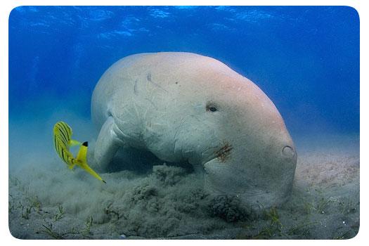 adrian-schoene-dugong